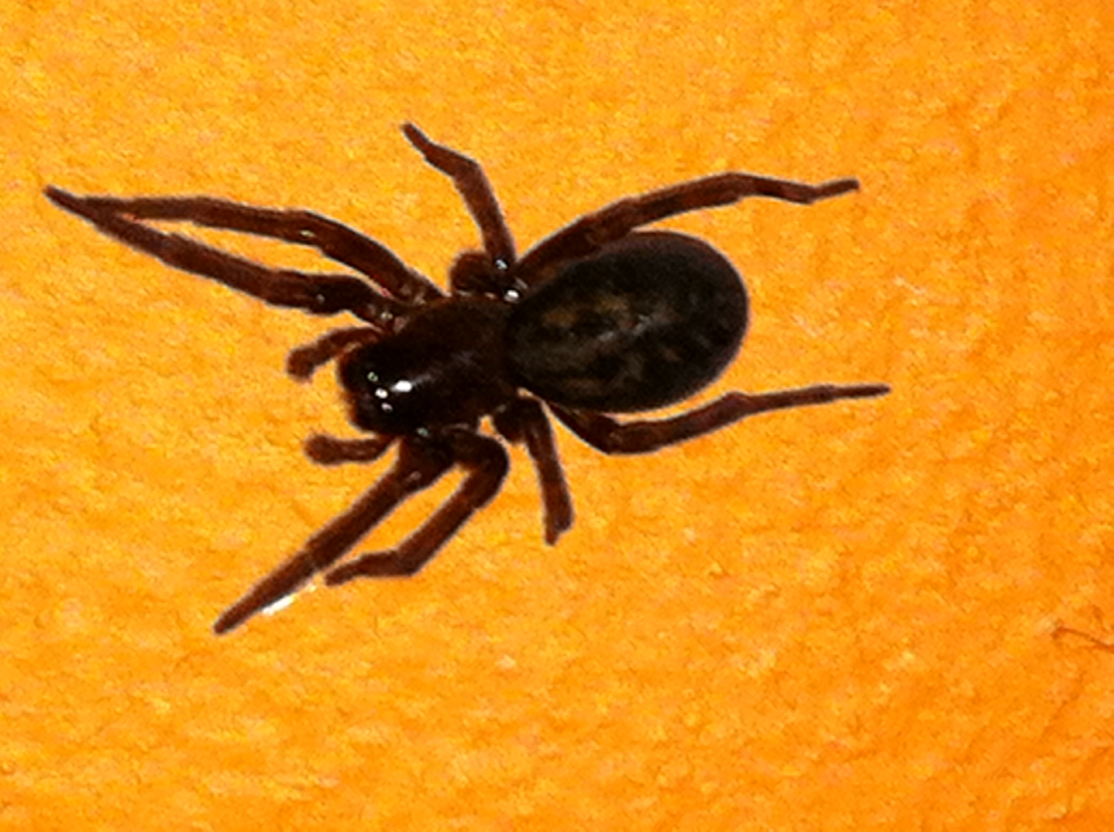 in some this large black spider was found crawling in the basement