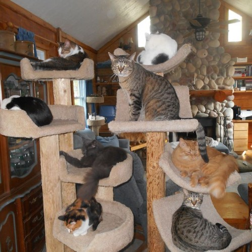 A group of cats lounging around a cat tree waiting to be adopted. Photo courtesy of: Cat Nap Lodge
