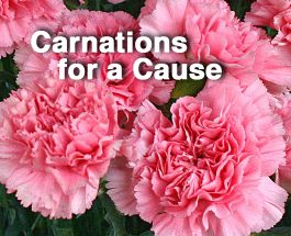 GLHS Student Senate sells carnations for Valentine's Day